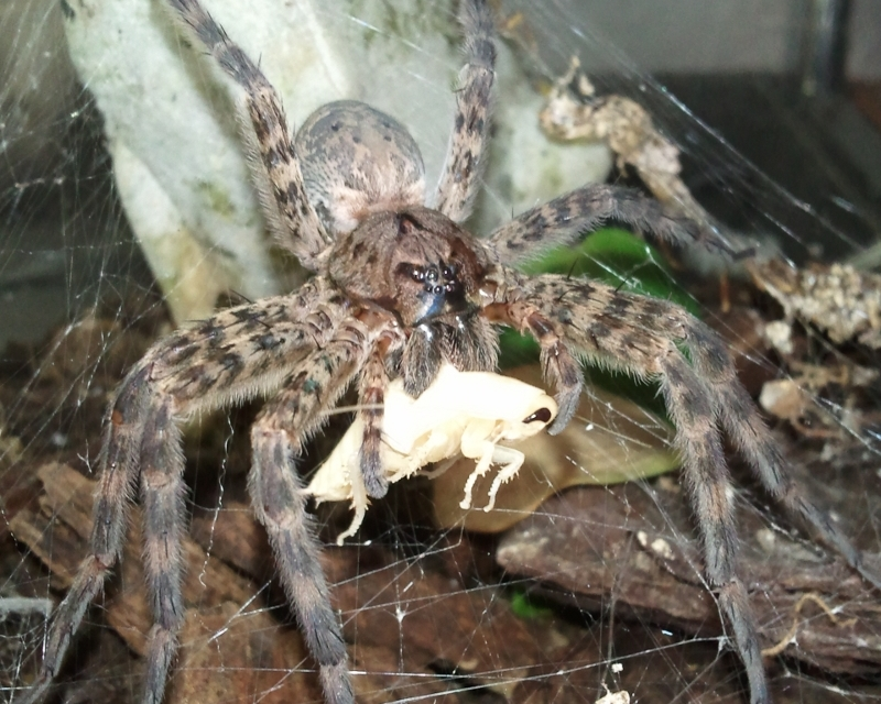 Pennsylvania Wood Spiders http://www.frogforum.net/other-pets/17421-wolf-spider.html